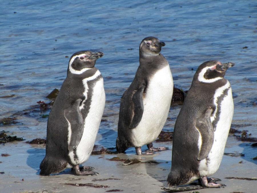OTL29-18 Day 2 Carcass penguins 3 © Oceanwide Expeditions.JPG