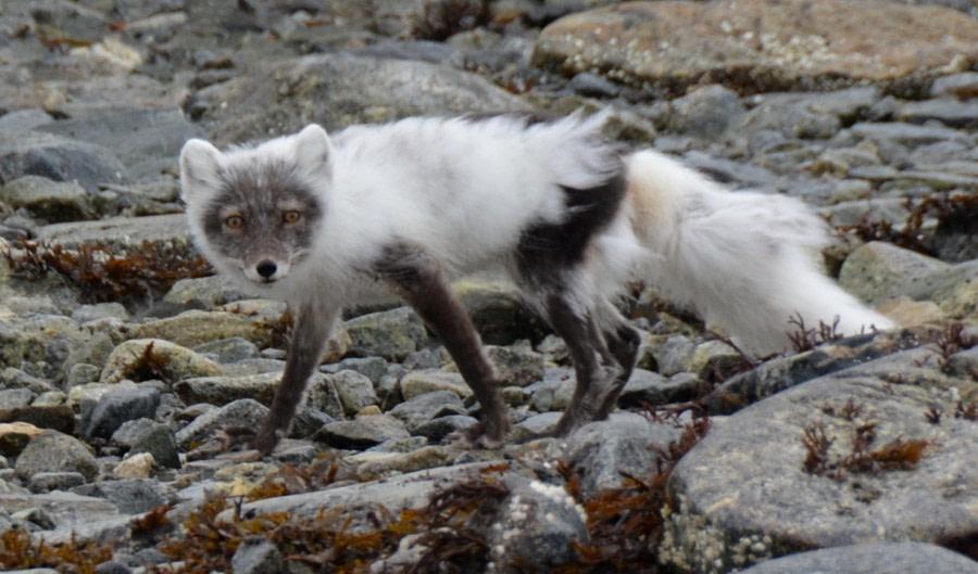 North Spitsbergen, Arctic Spring, June ArcticFox © Peter Tadin-Oceanwide Expeditions.jpg
