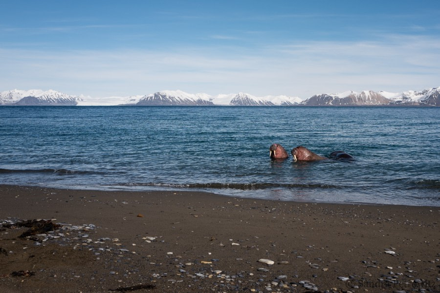 OTL04-18 20180611_Walrus_03_SandraPetrowitz-Oceanwide Expeditions.jpg
