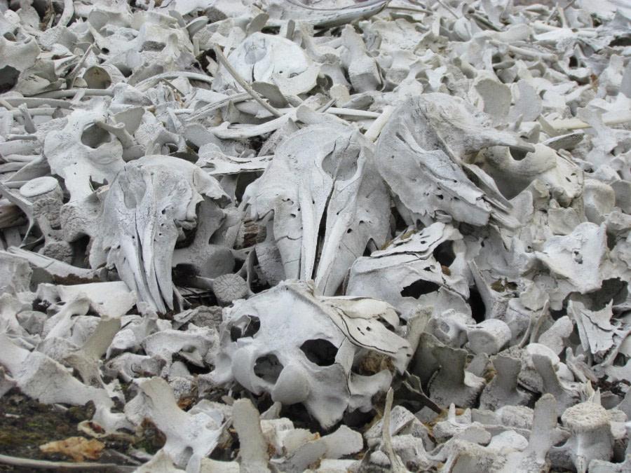 Beluga whale skeletons, Ahlstrandhalvoya, Bellsund, Bamsebu © Ali Liddle-Oceanwide Expeditions.jpg