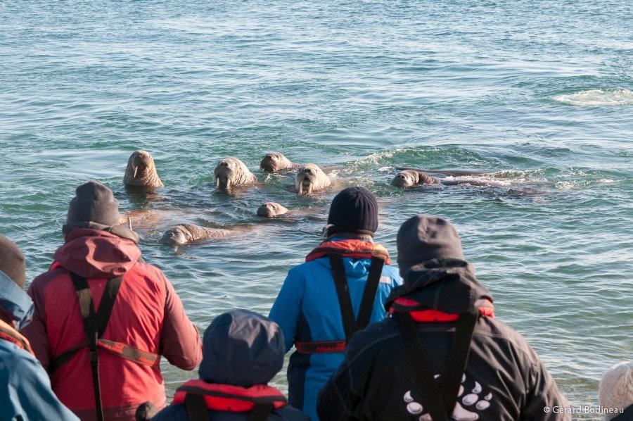 PLA13-18 Day03-04_Torellneset_Walrus_GerardBodineau-Oceanwide Expeditions.jpg