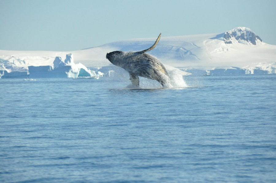 Humpback whale, breaching, Antarctica © Nicolo de Cata-Oceanwide Expeditions.jpg