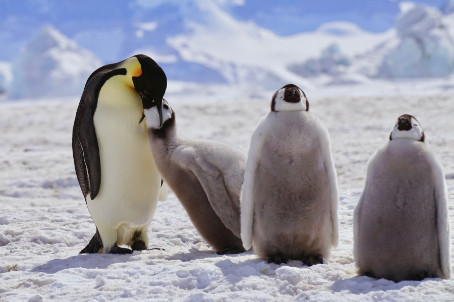 Snow Hill Island - Emperor Penguin Colony