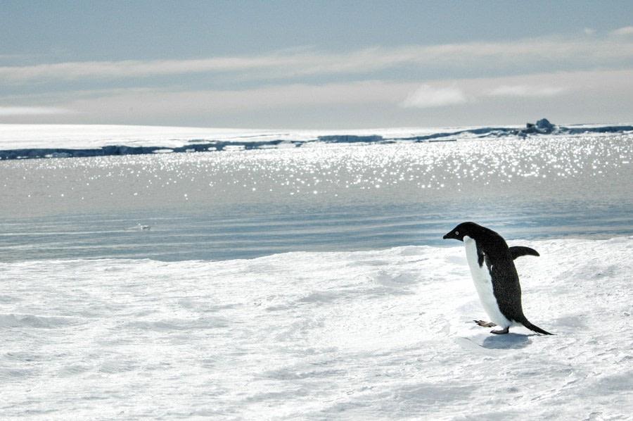 Emperor penguins, Snow Hill Island, Antarctica, Nov © Ilja Reijnen-Oceanwide Expeditions (34).jpg