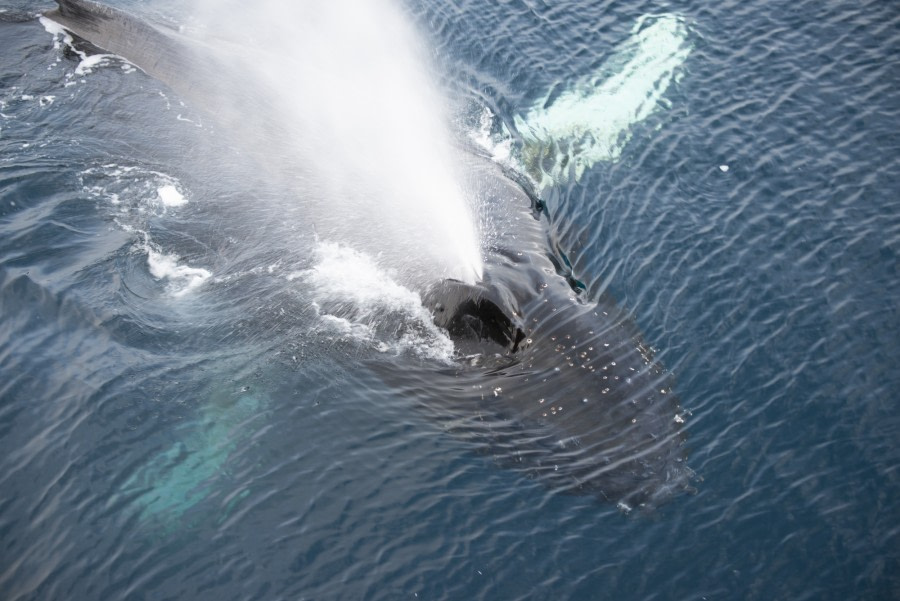 PLA31-19, DAY 04, 25 MAR Humpback - Oceanwide Expeditions.jpg