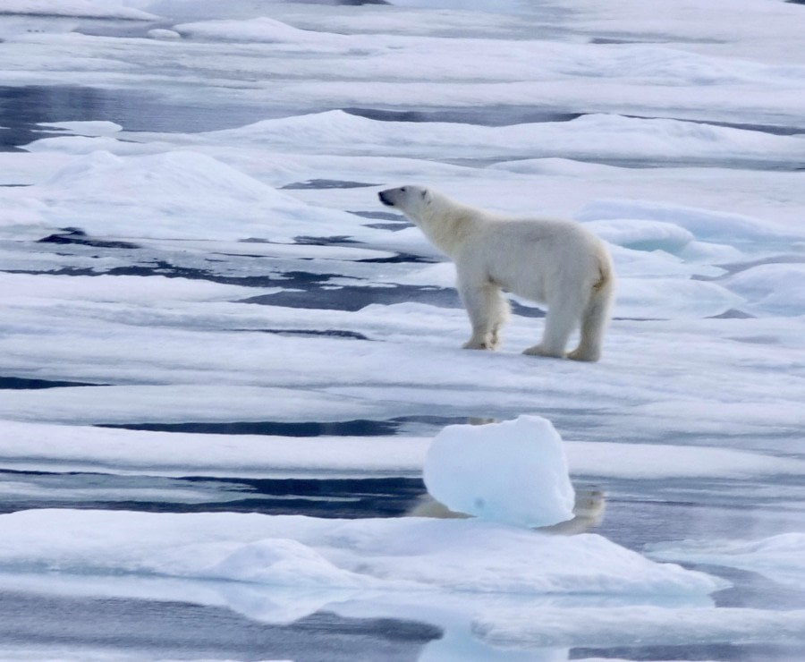 Magdalenefjorden and a first polar bear