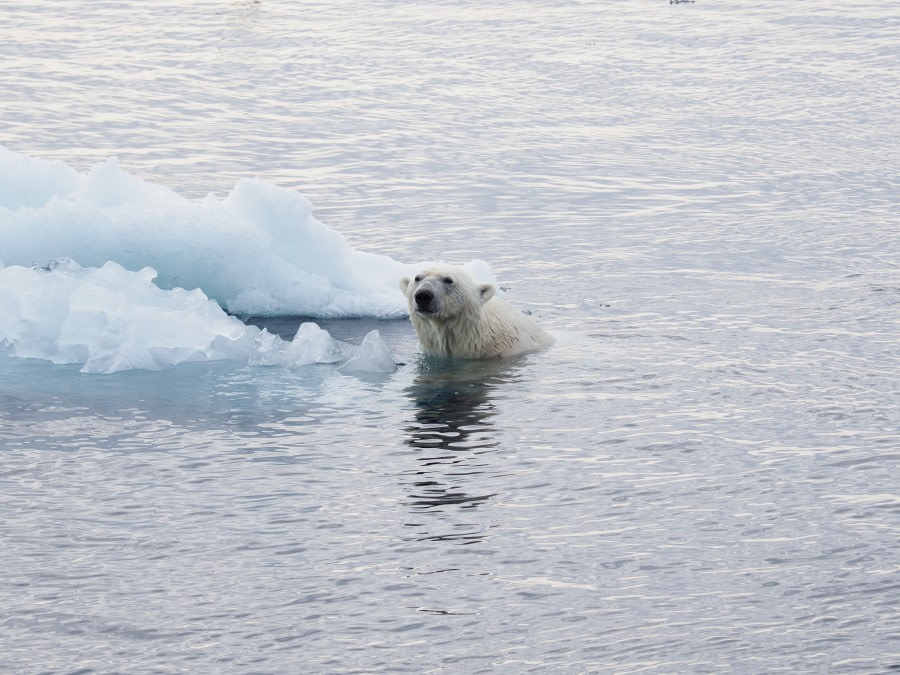 Pack Ice on the search of Polar Bears