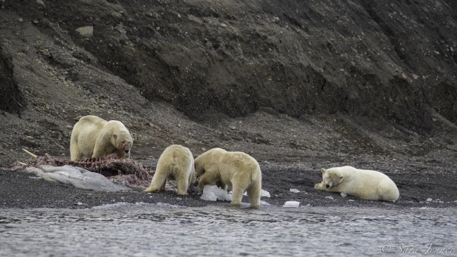 Polar bears eating a carcass © Sara Jenner - Oceanwide Expeditions.jpg