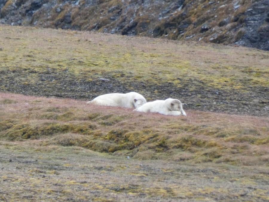 Isbjørnodden
