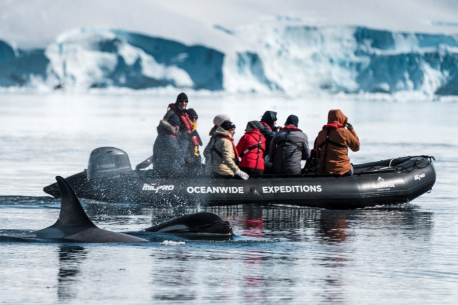 Zodiac cruising with Orca whales - Oceanwide Expeditions.jpg