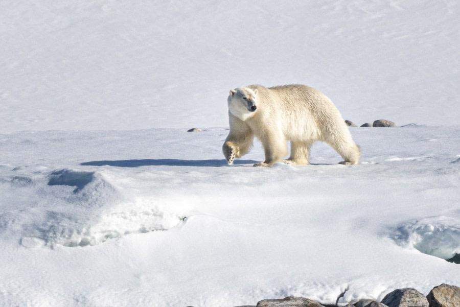 Polar bear, Svalbard, June © Ilja Reijnen-Oceanwide Expeditions (52).jpg