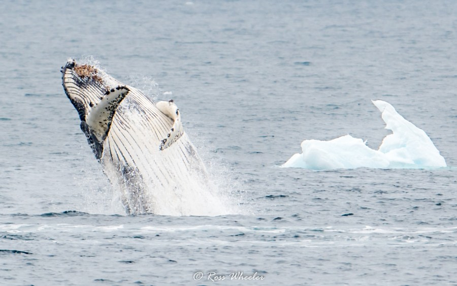 HDS30-20, DAY 06, 20 FEB Humpback Breach - Oceanwide Expeditions.jpg
