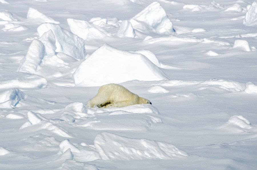Polar bear, Svalbard, Spitsbergen, June © Ilja Reijnen-Oceanwide Expeditions (12).jpg