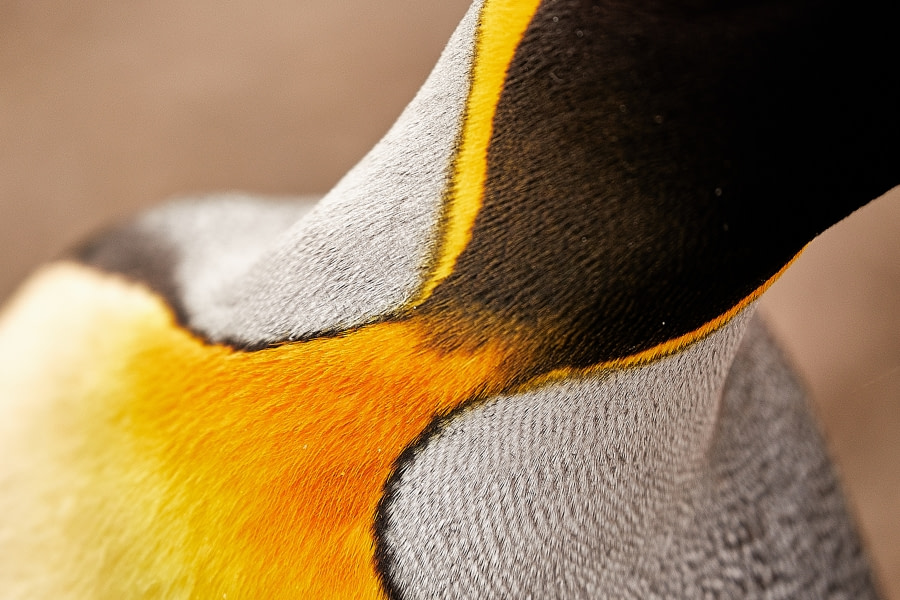 King penguin colour close-up.jpg