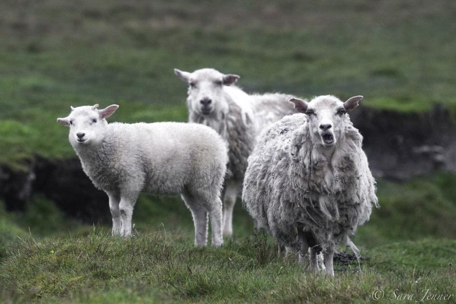 Sheep on Fair Isle © Sara Jenner - Oceanwide Expeditions.jpg