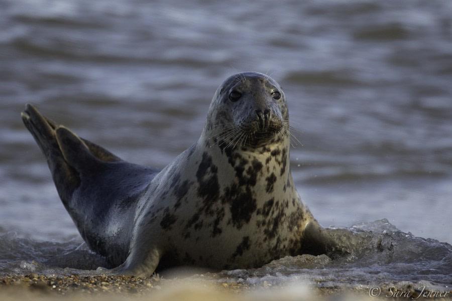 Grey seal on Fair Isle © Sara Jenner - Oceanwide Expeditions (1).jpg