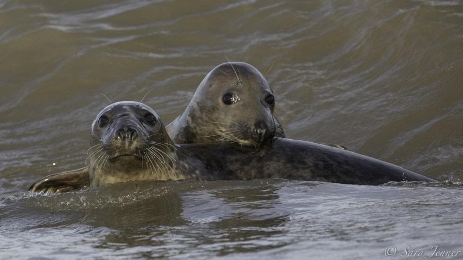 Grey seal on Fair Isle © Sara Jenner - Oceanwide Expeditions (2).jpg