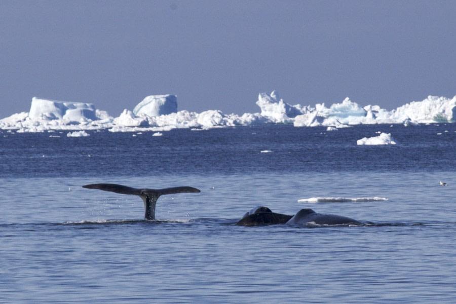 Bowhead whales © Morag Livingstone - Oceanwide Expeditions.jpg