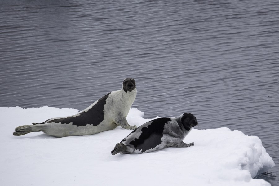 Harp seals © Sara Jenner - Oceanwide Expeditions.jpg