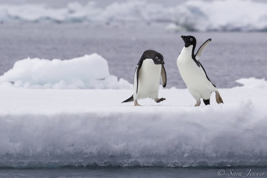 Adelie penguin 7 6x4 © Sara Jenner - Oceanwide Expeditions.jpg
