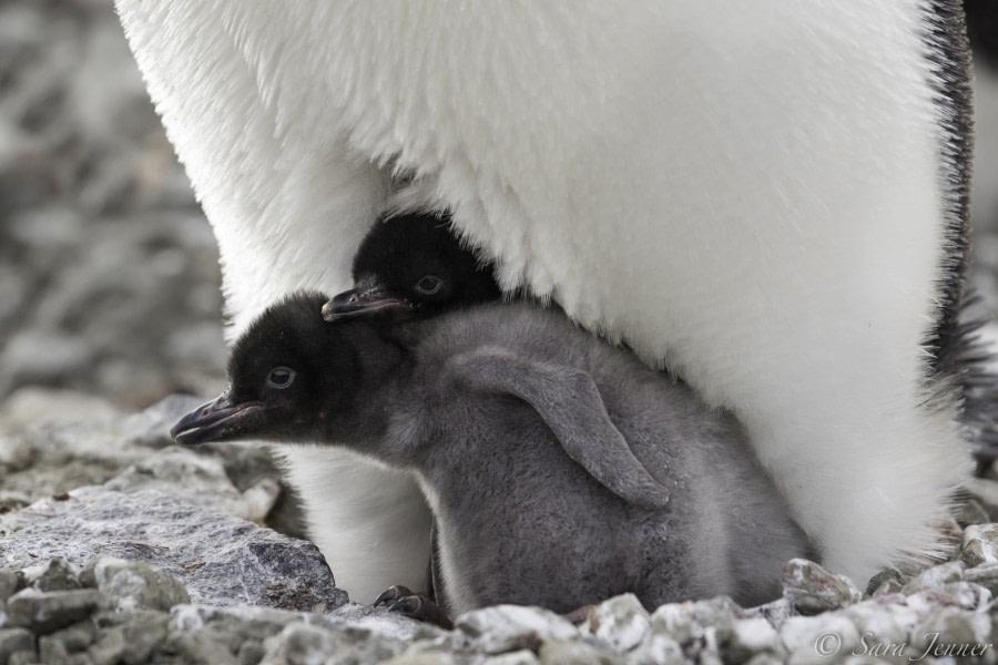 Adelie penguin 6 6x4 © Sara Jenner - Oceanwide Expeditions.jpg