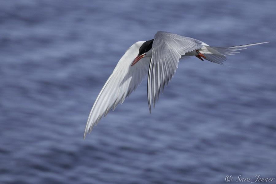 Arctic Tern 7 6x4 © Sara Jenner - Oceanwide Expeditions.jpg
