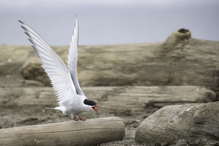 Arctic Tern 1 6x4 © Sara Jenner - Oceanwide Expeditions.jpg