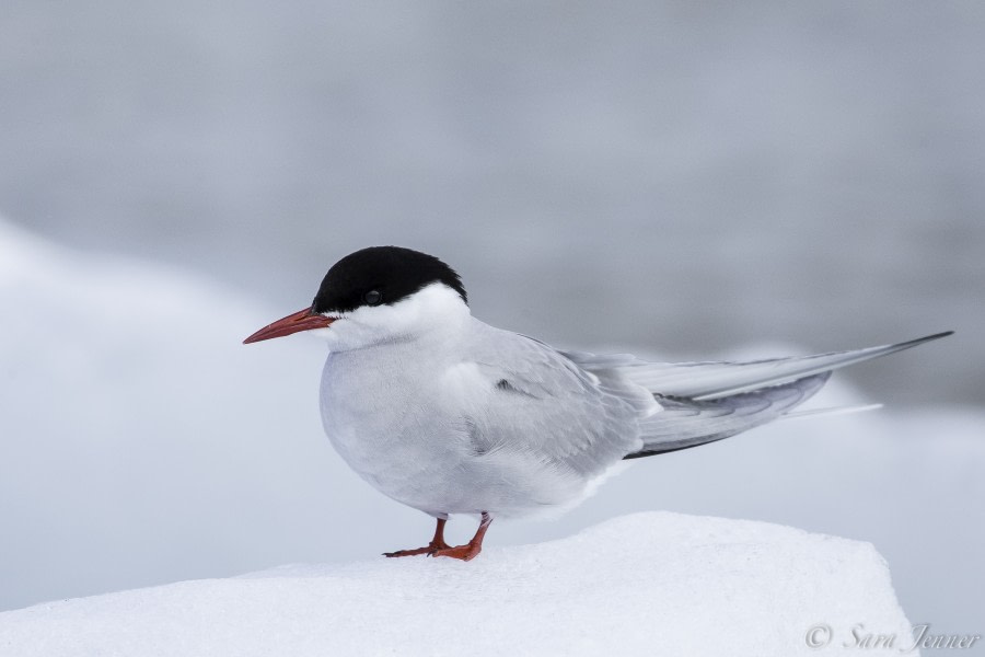 Arctic Tern 6 6x4 © Sara Jenner - Oceanwide Expeditions.jpg