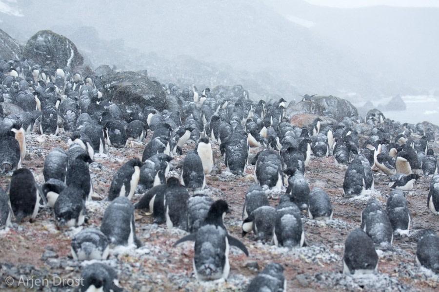 Adelie penguins, Kinnes Cove © Arjen Drost, Natureview - Oceanwide Expeditions.jpg