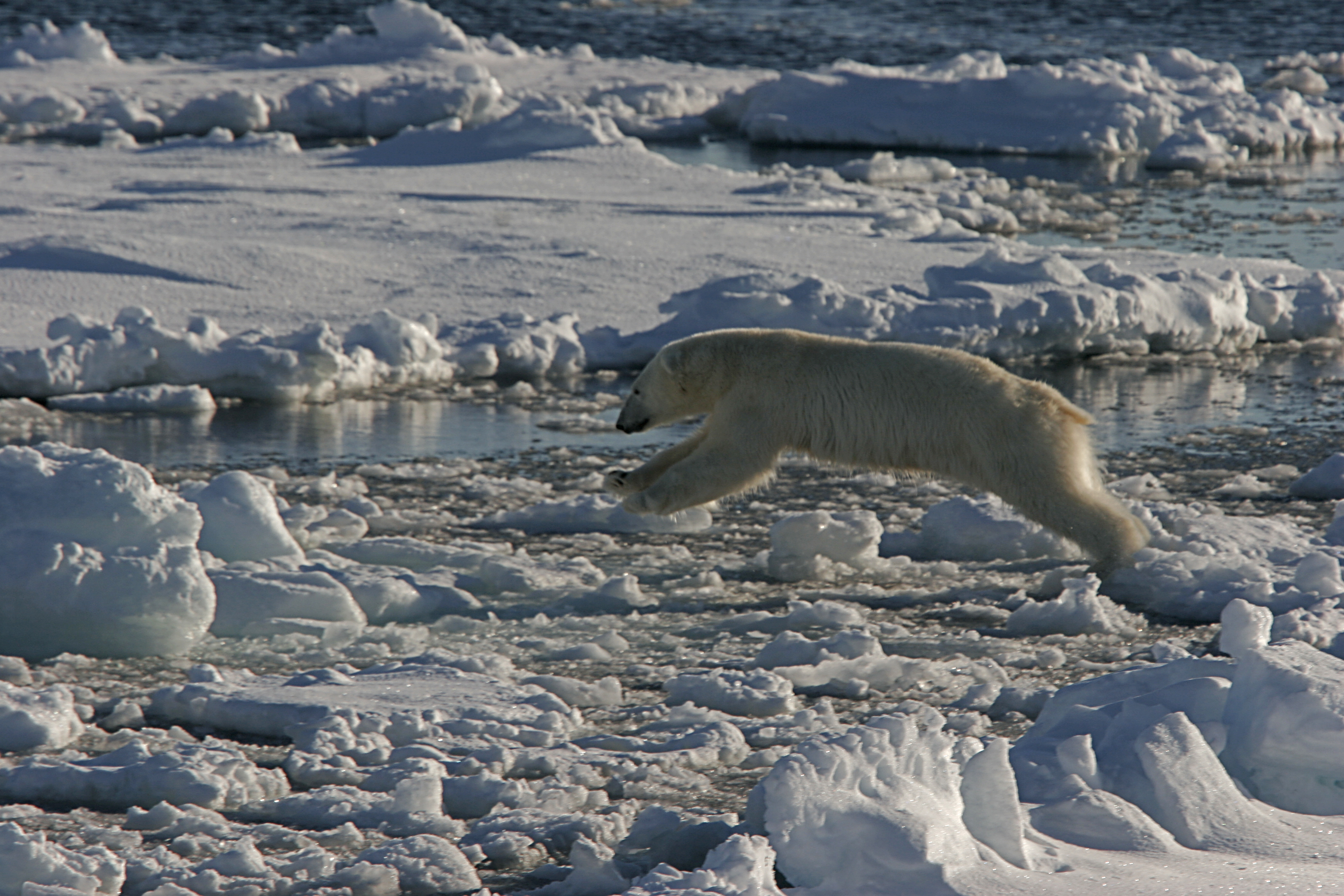 Polar Bear, North Spitsbergen