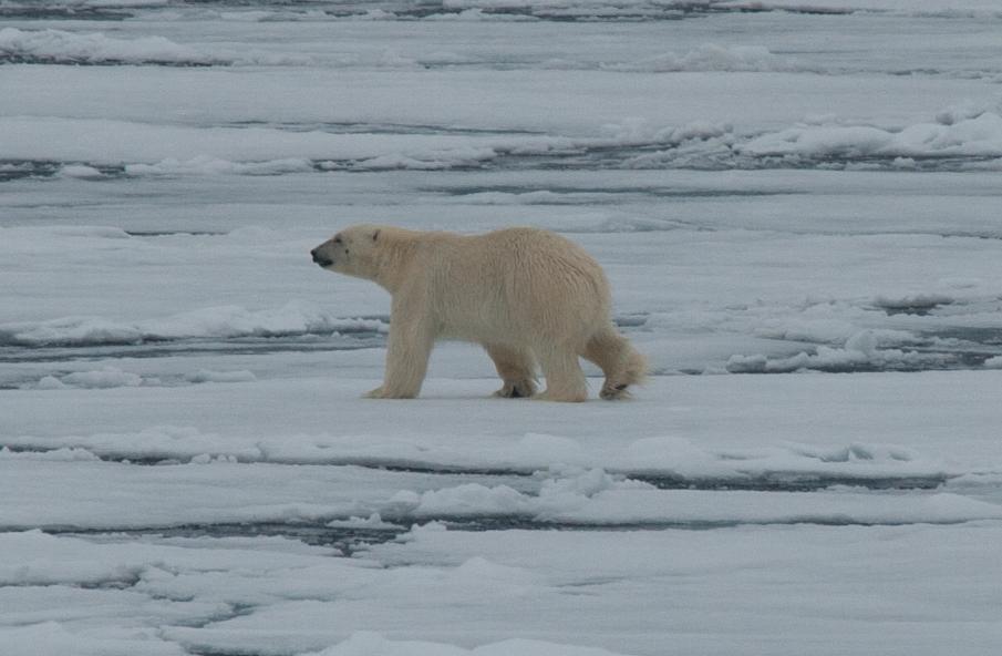 Polar Bear, North Spitsbergen, June © Erwin Vermeulen-Oceanwide Expeditions (3)