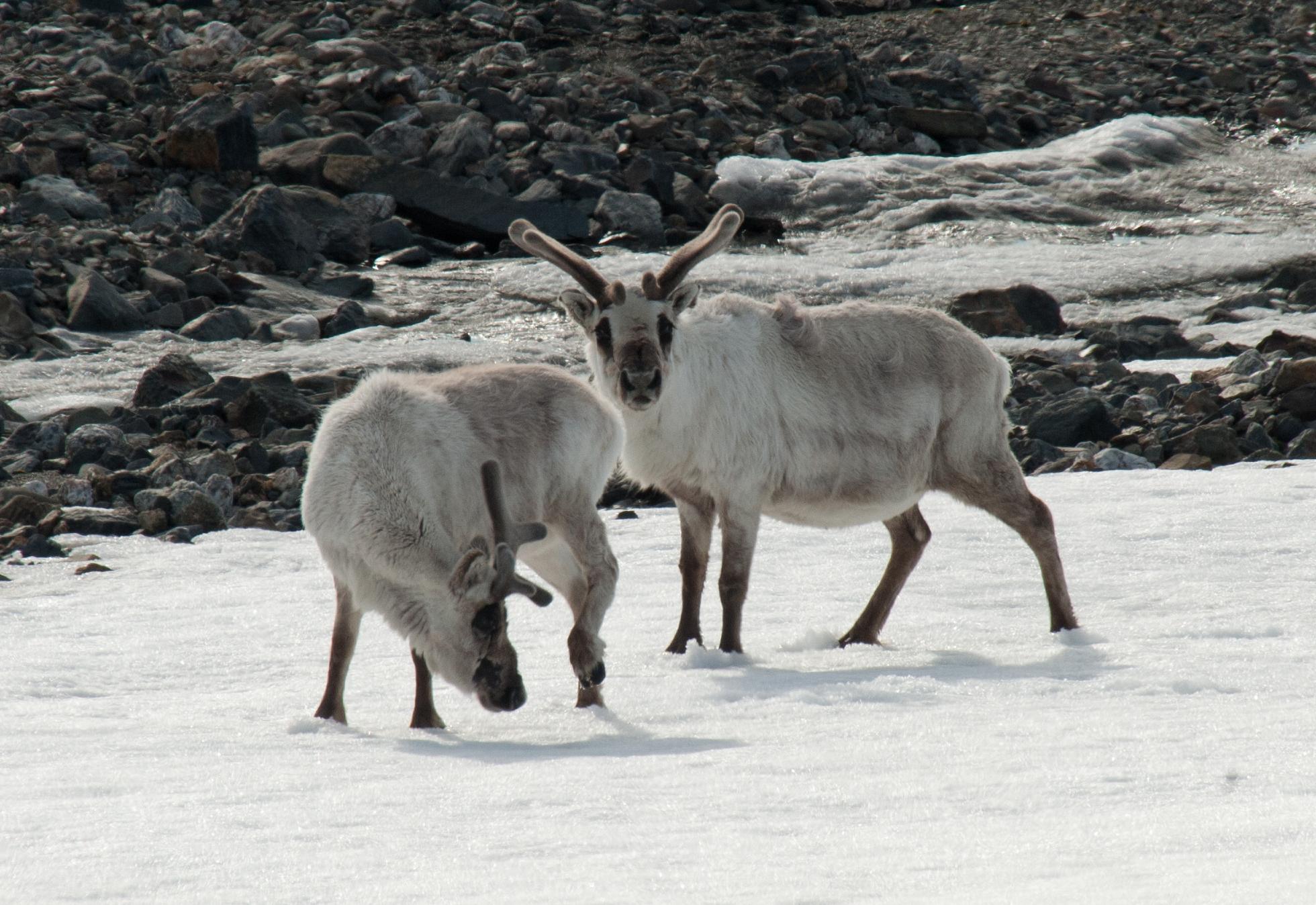 Svalbard Reindeer, Spitsbergen, June © Erwin Vermeulen-Oceanwide Expeditions