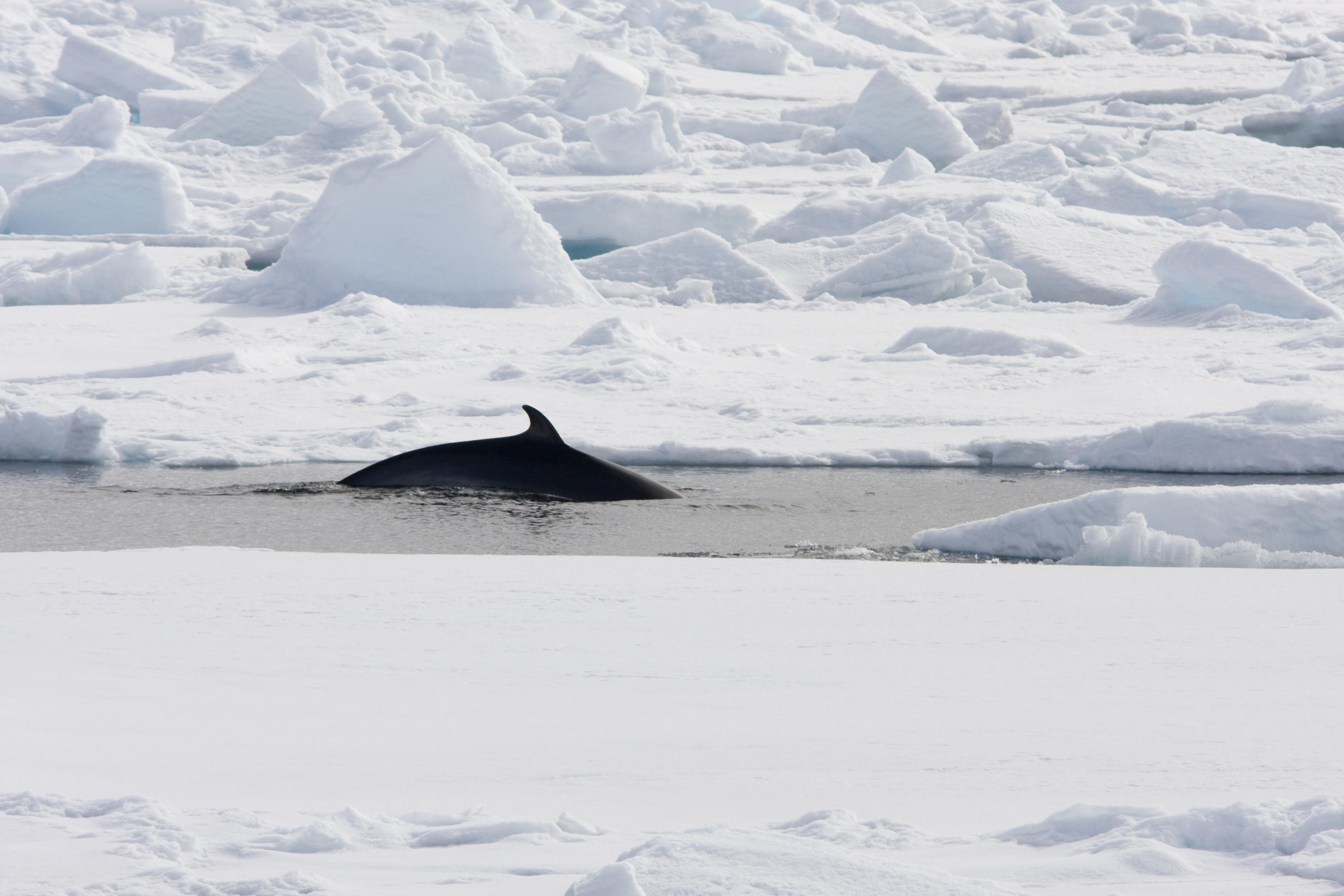 Minke Whale in Spitsbergen, July  © Arjen Drost-Oceanwide Expeditions.jpg