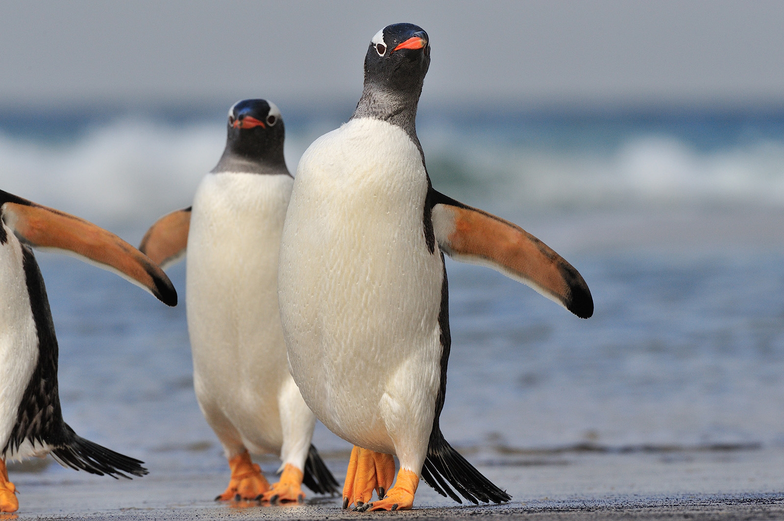 Gentoo Peng, Saunders Isl, Falkland Isl, Nov © Martin van Lokven-Oceanwide Expedition (7).jpg