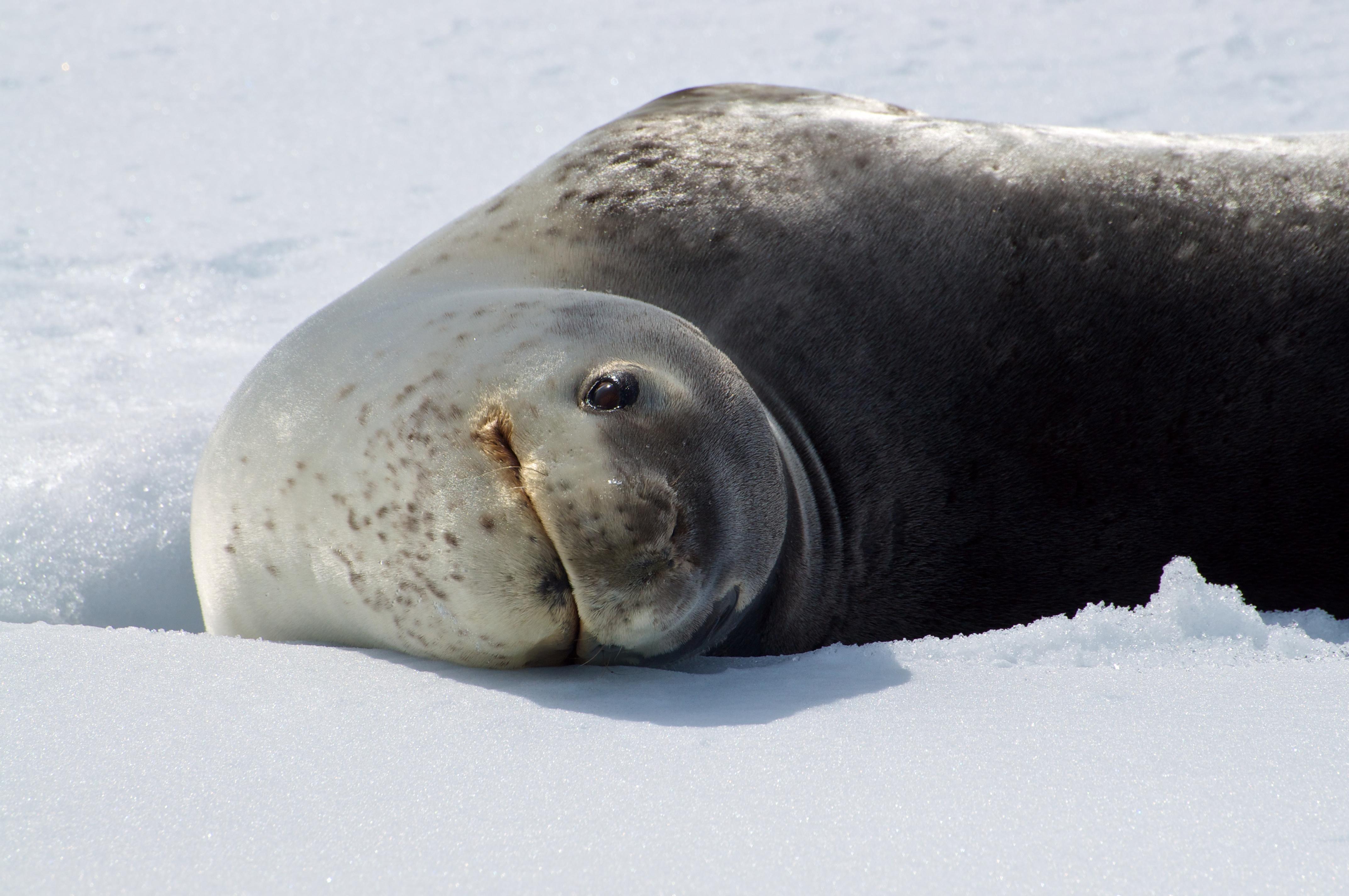Leopard Seal, Antarctica, December © Janine Oosterhuis-Oceanwide Expeditions.jpg