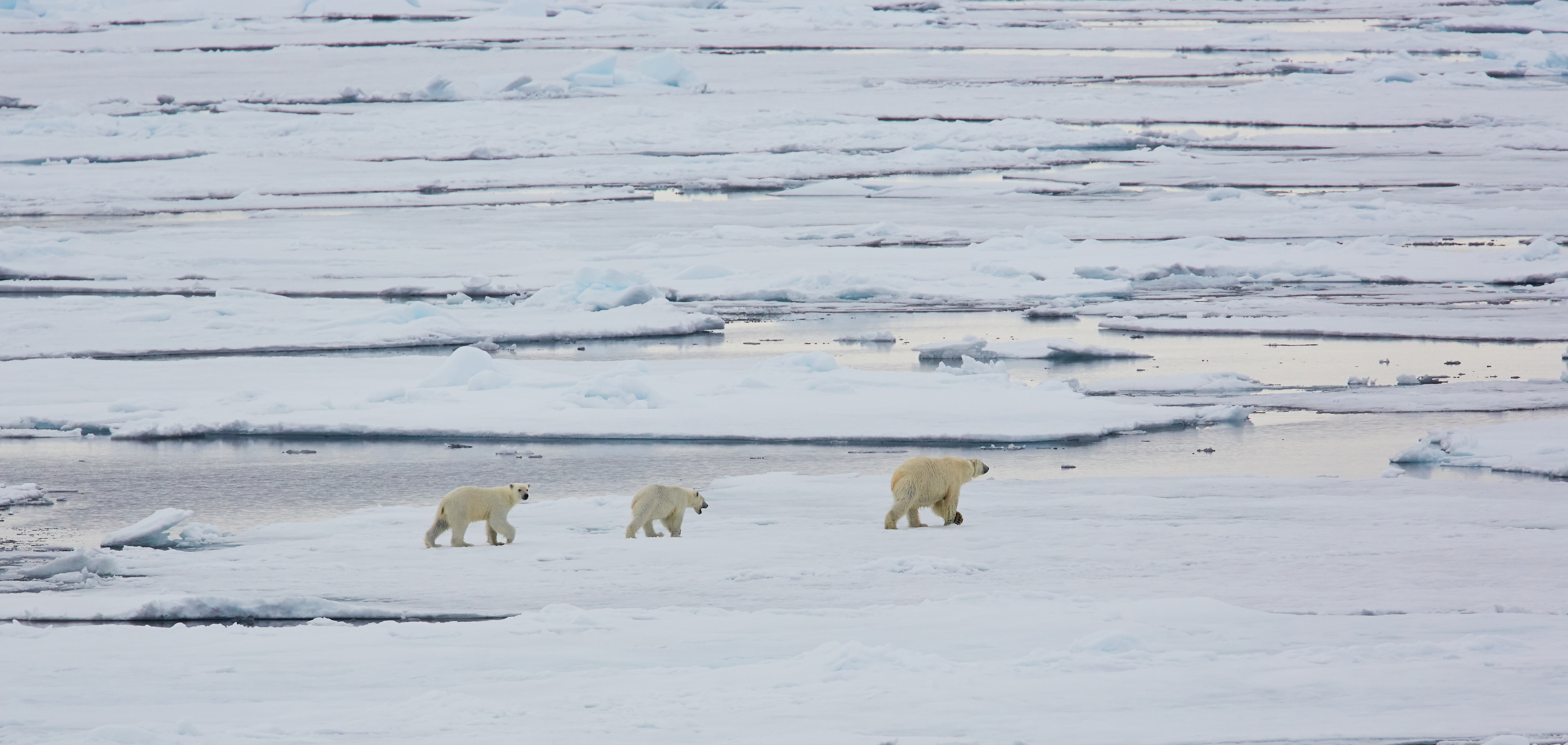 North Spitsbergen Polar Bear Special, June © Markus Eichenberger-Oceanwide Expeditions (64).jpg