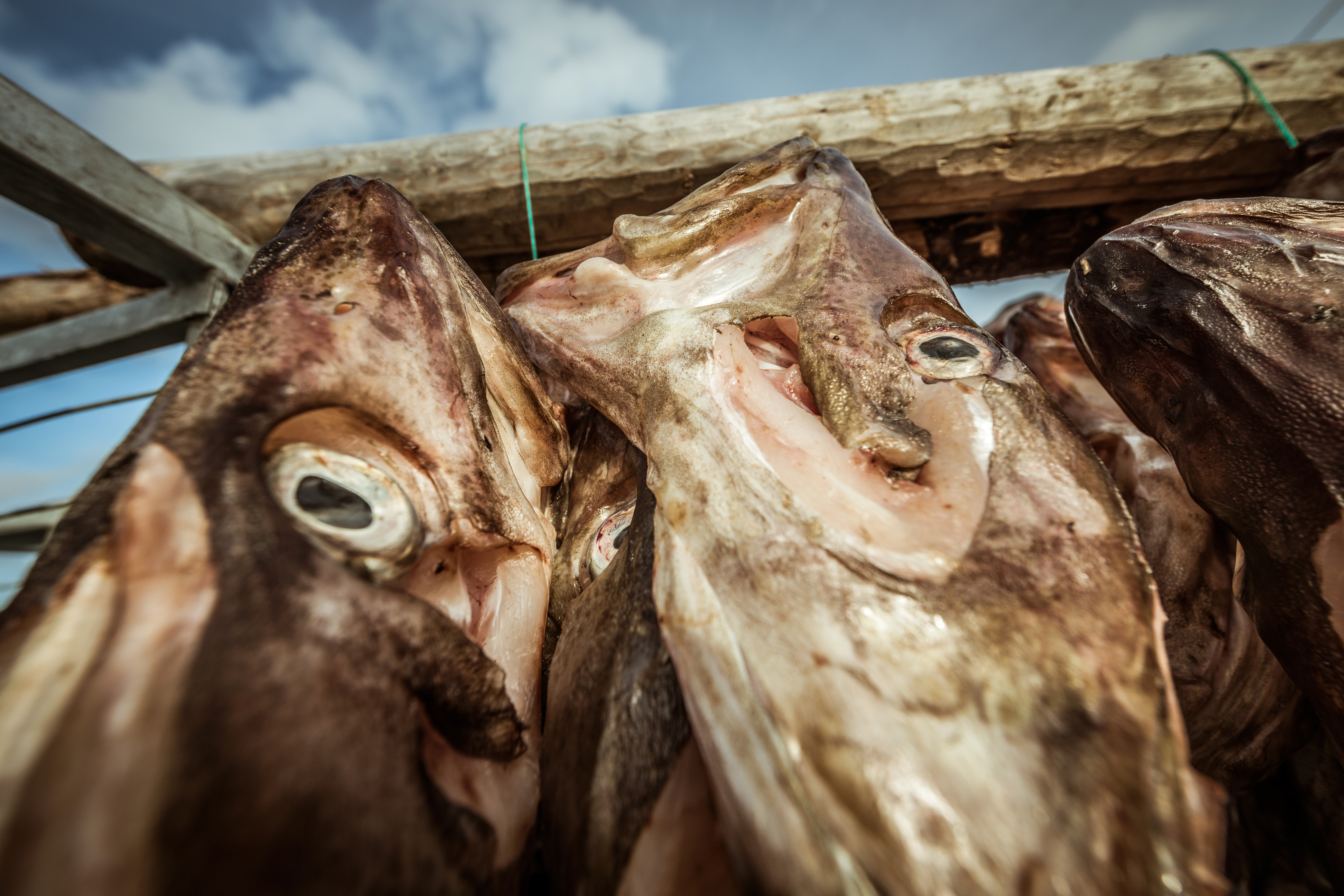 Salted Cod hanging up to dry in Sommaroy, North Norway