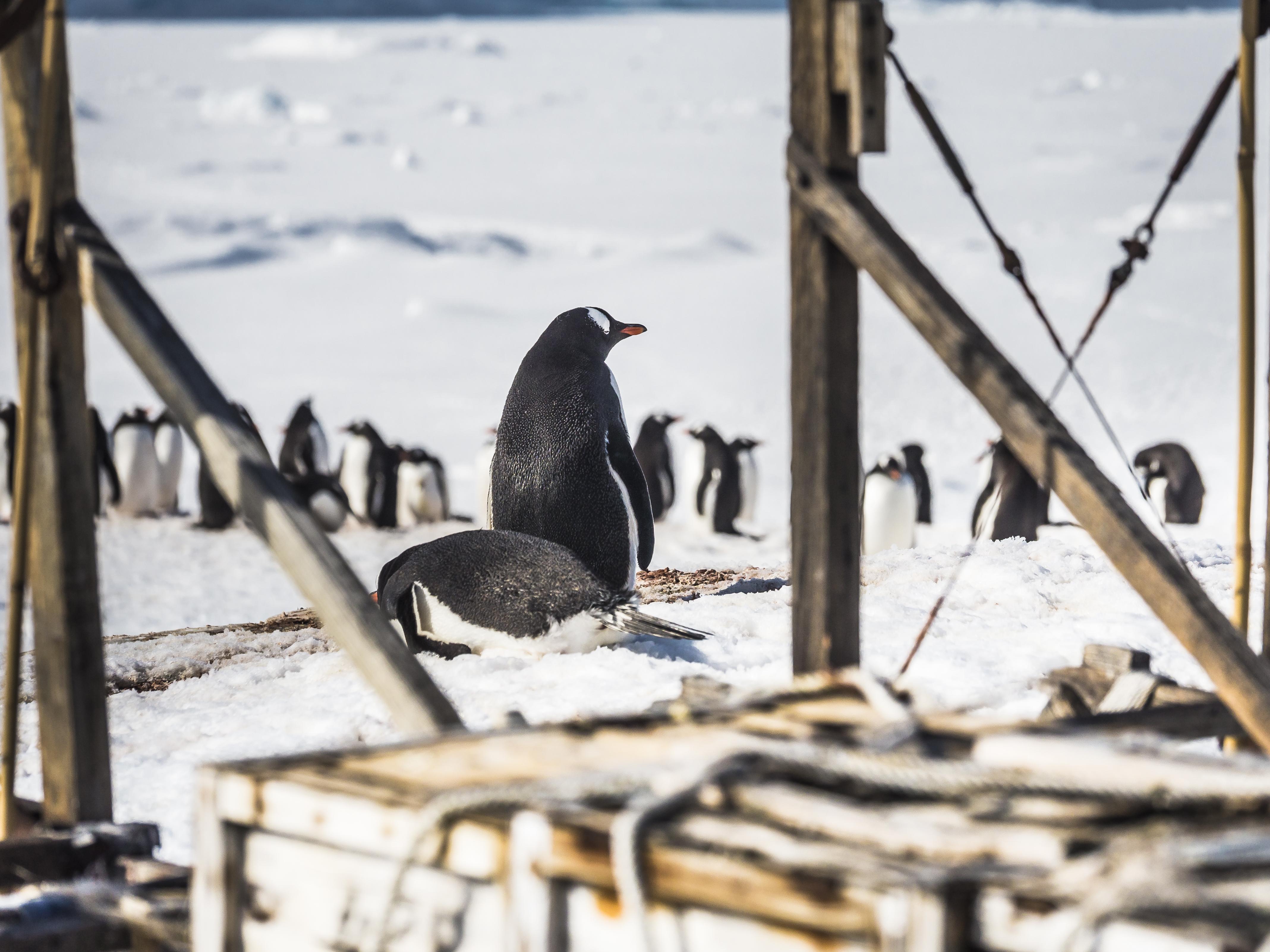 Gentoo Penguins ©Dietmar Denger;Oceanwide
