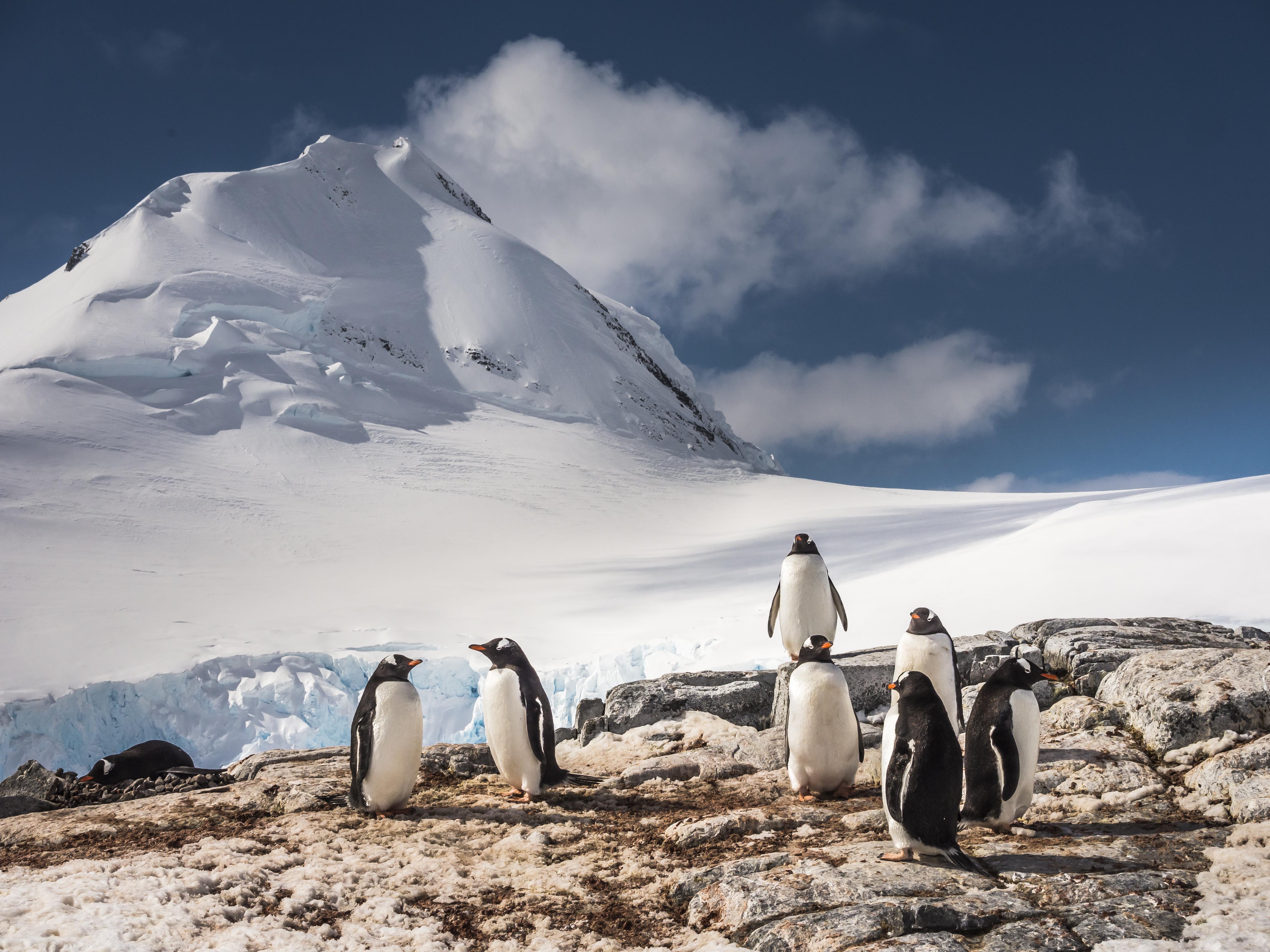 Gentoo Penguins © Dietmar Denger;Oceanwide