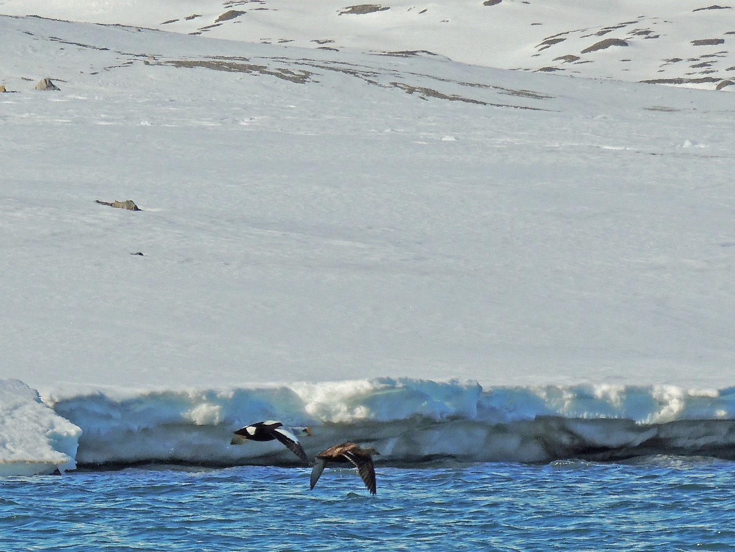 King Eider at Ymerbukta
