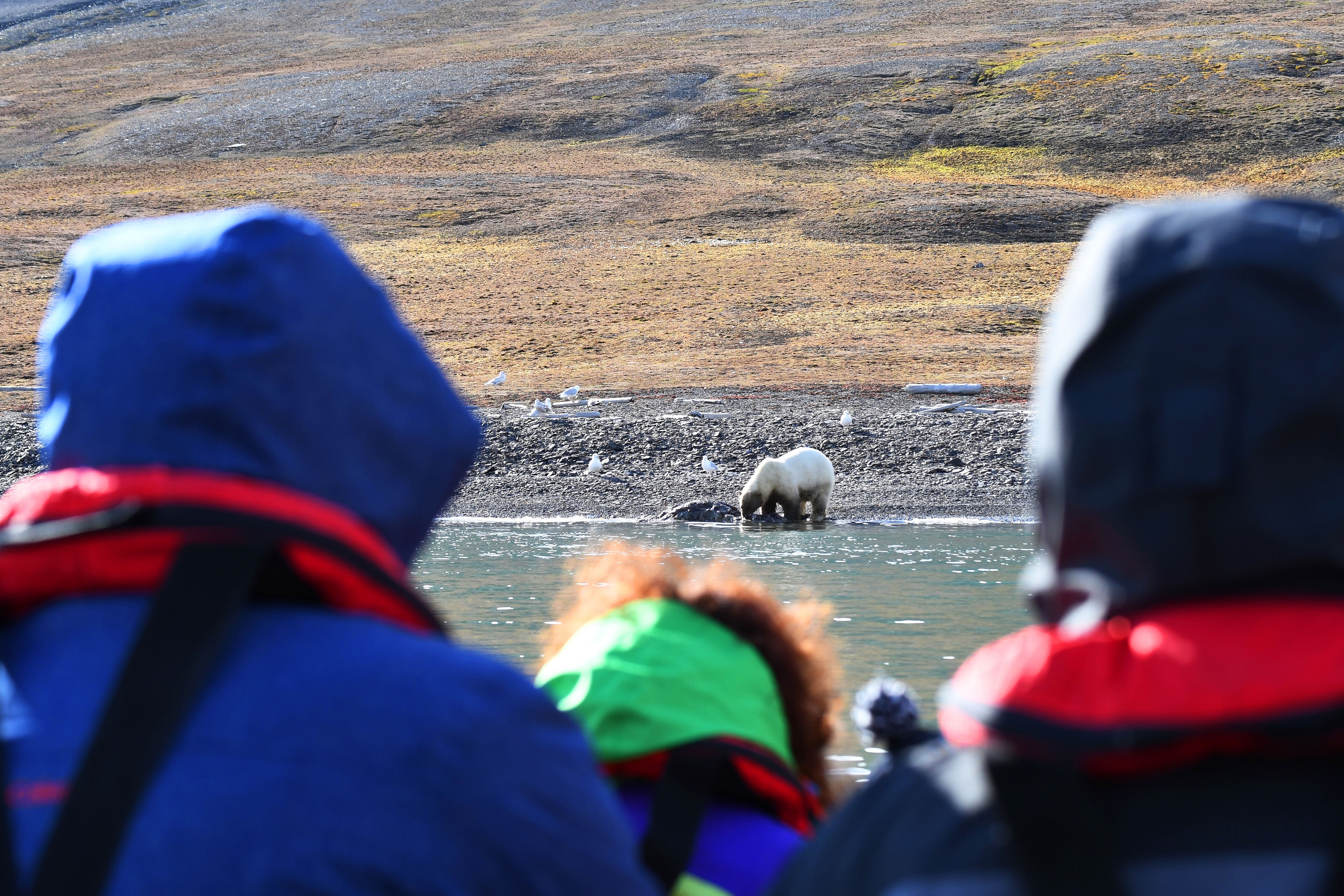 Freemansundet; polar bear; walrus; carcas; Svalbard-aug2017-Geert_Kroes-039.jpg