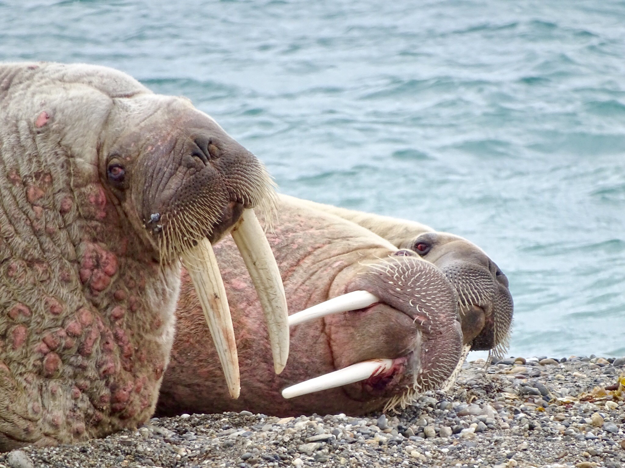 Walrus, Svalbard, Juli © Nikki Born-Oceanwide Expeditions.jpg