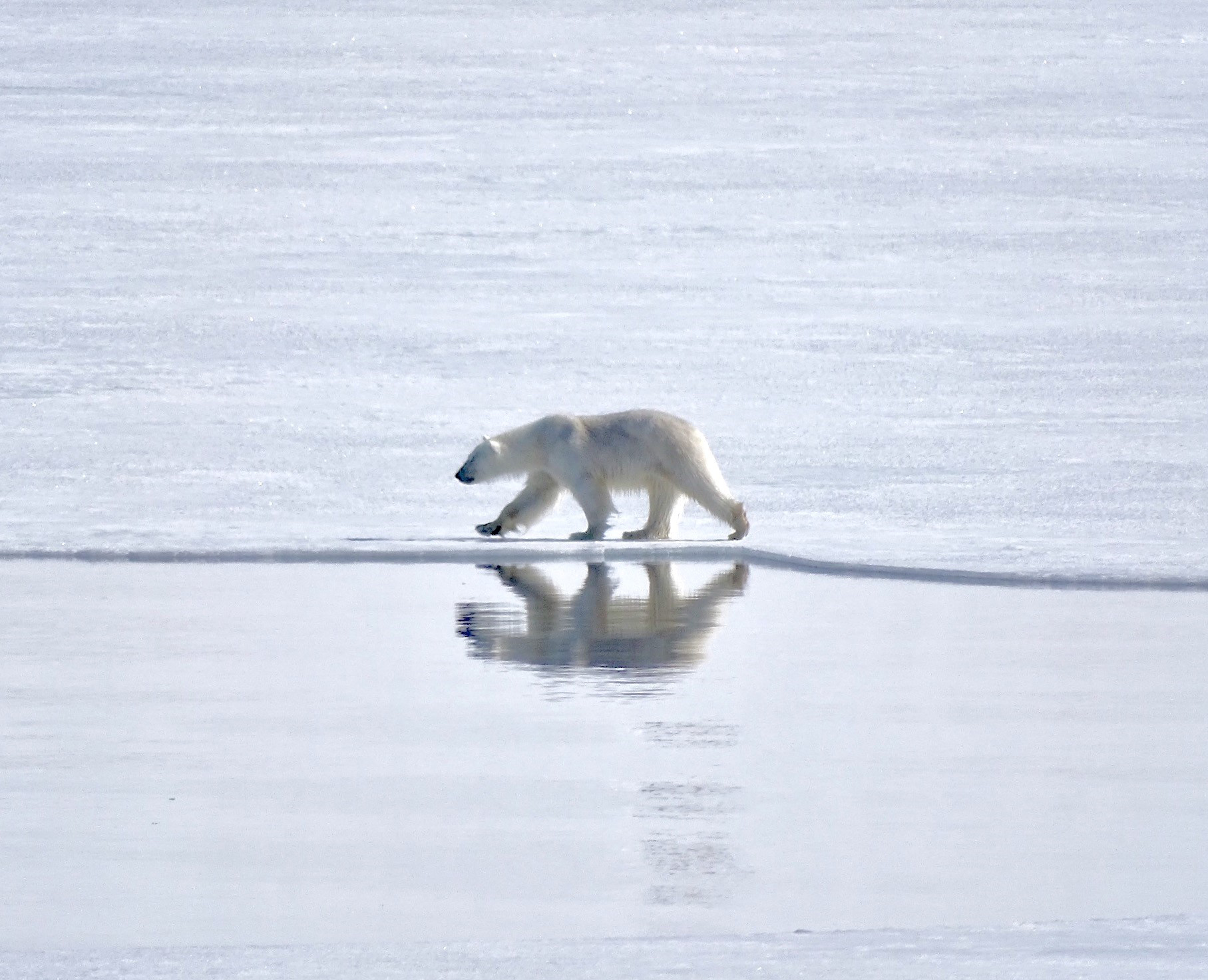 Polar bears, Svalbard, Juli © Nikki Born-Oceanwide Expeditions (1).jpg
