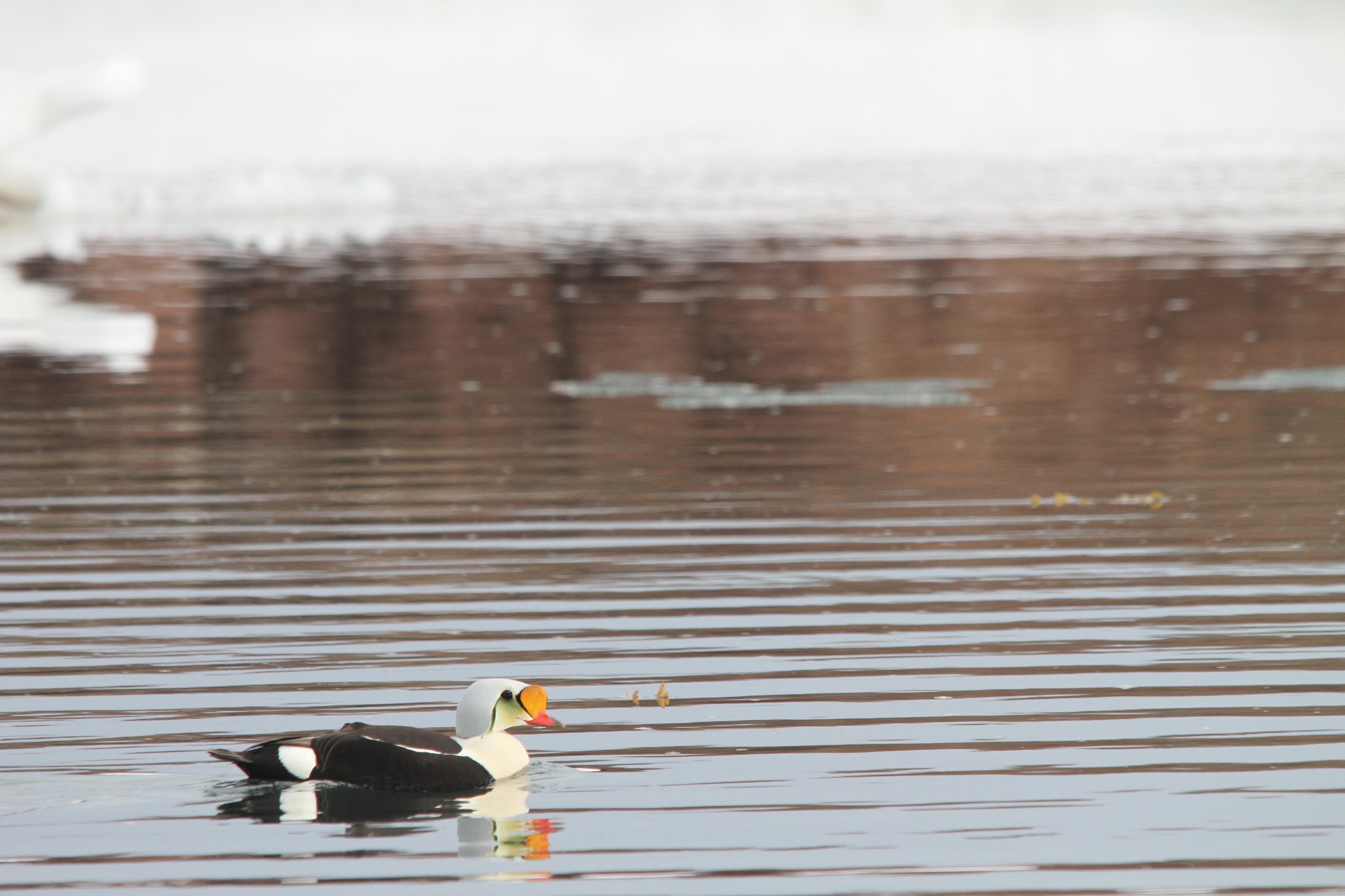 King eider duck, Spitsbergen