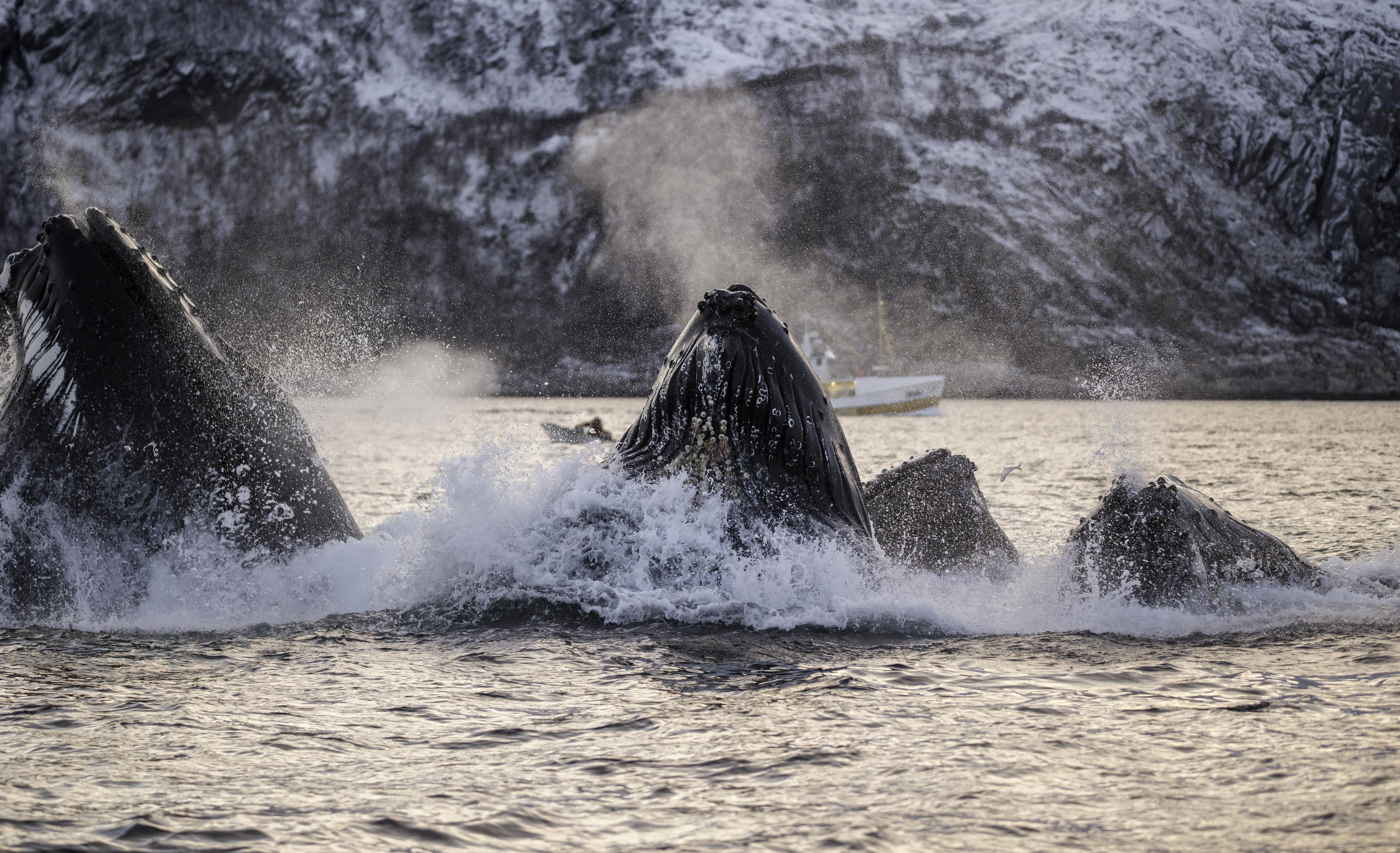 North Norway-Humpback feed.jpg