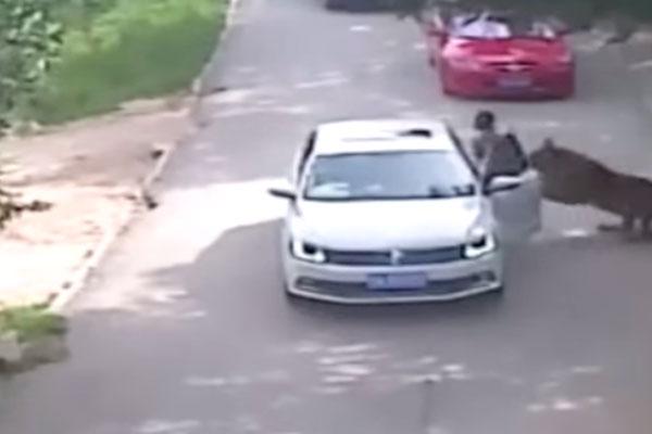 Tigre mata a mujer en parque de China, una más resultó herida