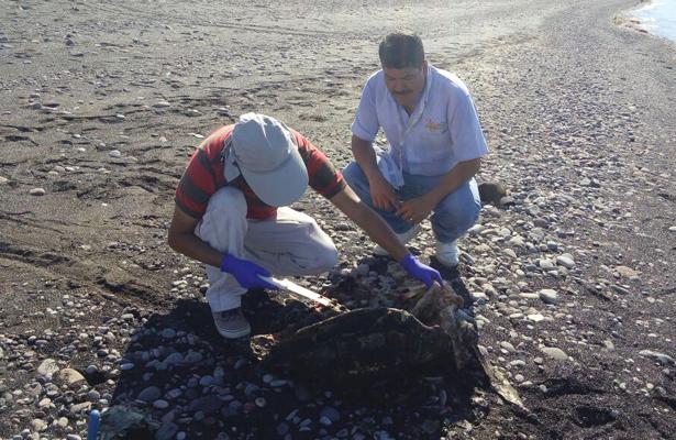 Mueren 35 tortugas marinas