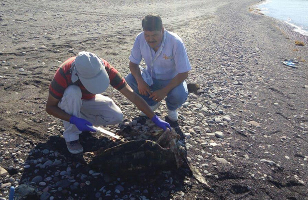 Investiga Profepa varamiento y muerte de tortugas marinas