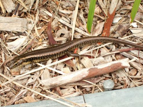 Lizard That Looks Like a Snake With Legs a Lizard That Looks Like a