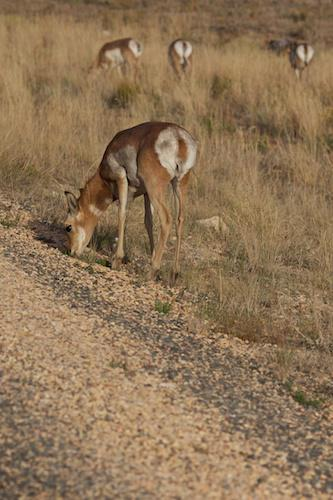 Deer like animals at Bryce Canyon